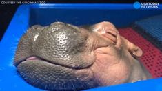 Unwind from your day with this sleeping baby hippo - Little Fiona, a 9-week-old hippo at the Cincinnati Zoo, is super cute. But even more so when she's catching a snooze!