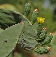 Opuntia ficus-indica (Indian fig) flowering in Secunderabad