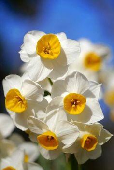 flowersgardenlove:  Narcissus Beautiful