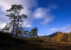 ShinyPhotoScotland posted a photo:  Some of my favourite trees - slightly gnarled, characterful old SCots Pines