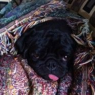 Even Pugs get the winter blues