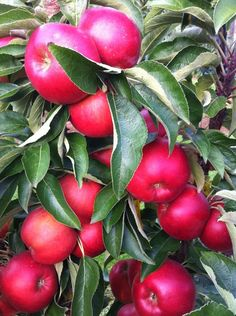 Redspring Ein sehr süsser, handgrosser, roter Apfel, welcher lecker für Zwischendurch ist.