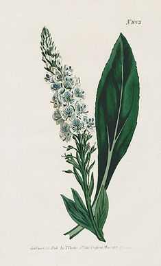 William Curtis Botanical Magazine Antique Prints 1787-1839