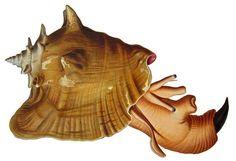 Queen Conch (Lobatus gigas)