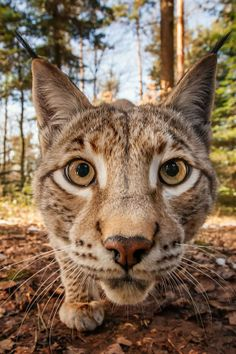 Trail cam mugshot wild cat edition