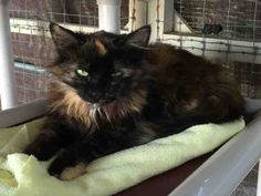 Meet RAINE, a Petfinder adoptable Domestic Medium Hair Cat | Visalia, CA | Petfinder.com is the world's largest database of adoptable pets and pet care information....