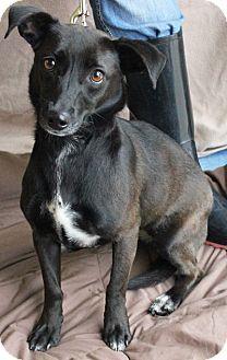 Huntley Il Schipperke Dachshund Mix Meet Maggie A Dog For Adoption Kitten Adoption Dog Adoption Pets