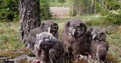 Nesting time - Pesimäaika! Koirat ja kissat on pidettävä kiinni, etteivät luonnoneläimet häiriinny niistä.