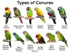 Pretty Birds, Beautiful Birds, Animals Beautiful, Cute Animals, Nanday Conure, Conure Cage, Parrot Facts, Best Pet Birds, J Birds