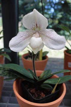 White Paphiopedilum.