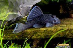 Blue Panaque Pleco (Baryancistrus beggini L239) Aquarium Catfish, Saltwater Aquarium Fish, Tropical Aquarium, Freshwater Aquarium Fish, Tropical Fish, Cichlid Fish, Cichlids, Plecostomus, Fish Tales