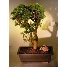 Bonsai Boy's Baby Jade Bonsai Tree Portulacaria Afra$295.00: www.amazon.com/Bonsai-Boys-Baby-Jade-Portulacaria/dp/B004XBO1X4/?tag=sure9600pneun-20