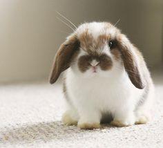 Cute Baby Bunnies, Cute Baby Animals, Animals And Pets, Funny Animals, Mini Lop Bunnies, Bunny Rabbits, Lop Eared Bunny, Fluffy Bunny, Tier Fotos