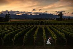 Beautiful vines shots with the gorgeous Marlborough landscape in the backgorund
