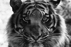 tiger by NoralyB, via Flickr
