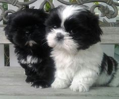 Two baby Shih Tzu puppies...so precious!