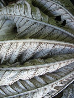 dried-out silk tree leaf
