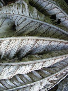 dried-out silk tree leaf