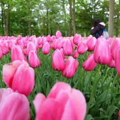 #honeymoontrip #keukenhof lets play peek a boo!   #amsterdam #letsgosomewhere #lovely #justthetwoofus #sweetescape #flower #tulip #holland #happykids by grevisyega