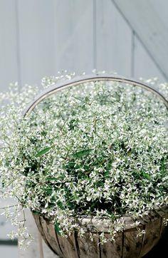 Snötörel, Euphorbia 'Diamond Frost'