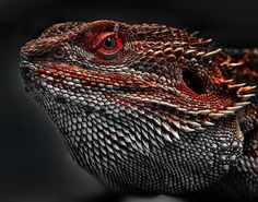 Pogona vitticeps; the central bearded dragon, is a species of agamid lizard. AGAMA by ELKAPL.deviantart.com on @deviantART