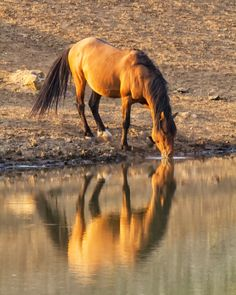 Wild Mustang Watering Hole Reflection Horse Equine Fine Art Photography by Lost Canyon Photography starting at $15.00
