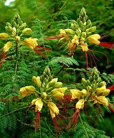 Bird of Paradise Bush (Caesalpinia gilliesii)