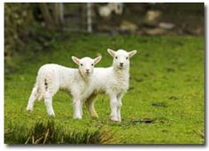 "Welsh lambs in spring. ""EXPERIENCE A SPECIAL WELSH SPRING""explorewalesnow.co.uk"