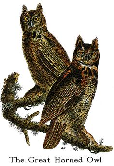 Audubon's Birds of America -- The Great Horned Owl