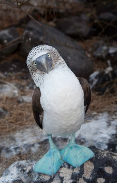 Blue-Footed Booby on Galapagos. The Galapagos in general. Tortoises and penguins. Pretty Birds, Beautiful Birds, Animals Beautiful, Booby Bird, Funny Animals, Cute Animals, Colorful Animals, Wild Animals, Blue Footed Booby