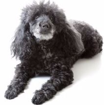 Parti Poodles, Mismarks, Tuxedo and Ticking Overview  While many people equate a Poodle with a solid colored dog (with white, black, red and apricot being the most popular colors), there are many more variables in regard to coat color and markings; and some of these are AKC recognized but only partially allowed into certain events.   This section will discuss: Partis (two colors) Mismarks (a type of color marking) Tuxedo (a certain type of two-tone) Ticking on the toy, miniature and standard…