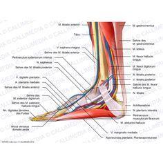 Fuß - Medialansicht - Muskeln, Blutgefäße und oberflächliche Nerven