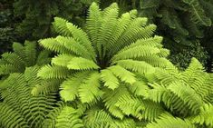 Learn about the Various Types of Ferns with Pictures The Australian Tree Fern (Cyathea cooperi) is a large, showy fern which can make a wonderful addition the garden, whether placed in the ground or grow.