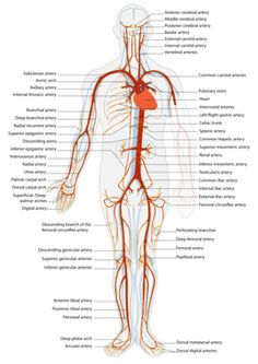 The main arteries in the human circulatory system (click to enlarge)