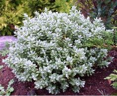 Véronique Arbustive Pinguifolia Hebe - All For Garden Yard Yahtzee, Silver Plant, Dwarf Shrubs, Border Plants, Trees And Shrubs, House Front, Evergreen, Container Gardening, Hydrangea
