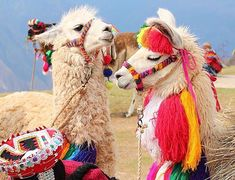 Alpacas, Animals And Pets, Baby Animals, Funny Animals, Cute Animals, Cute Creatures, Beautiful Creatures, Animals Beautiful, Peru Llama