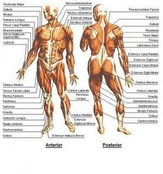 anatomy..muscles