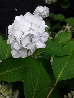 White and blue hydrangea.