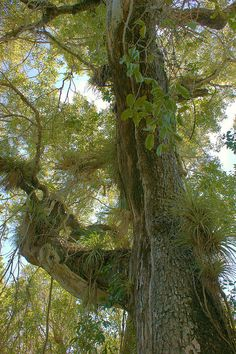 Mahogany tree, Everglades National Park, Florida