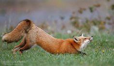 A stretch always makes u feel better 365 days fox marathon Day 225 #365daysfoxmarathon #photography #wildlife