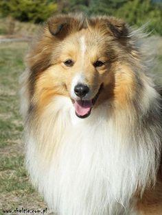 psy sheltie - wywiad z hodowcą z hodowli lovesome sheltie - pytania i odpowiedzi na temat psów rasy owczarek szetlandzki - sheltie http://www.szkola-doberman.pl/szkolenie-psow/wywiad-z-hodowca-lovesome-sheltie/