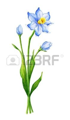 Watercolor narcissus flower Stock Photo