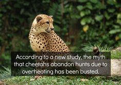 After measuring the body temperature of cats while running, it was concluded that it stays relatively stable until the cat stops. However, body temp increases 2x when it makes the kill compared to when it gives up. An unexpected finding showed that body temp increased before eating even if the cheetah wasn't the one that did the hunting. While researchers don't have an answer as to why only 40-50% of hunts are successful (a fairly low success rate), overheating is not the answer. -IFLS