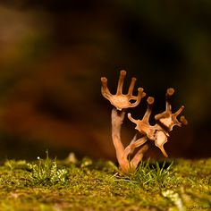 Tiny Hand Fungus - HA 'take my strong hand' Poisonous Mushrooms, Wild Mushrooms, Stuffed Mushrooms, Mother Earth, Mother Nature, Slime Mould, Strong Hand, Mushroom Fungi, Science And Nature