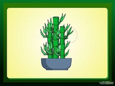 How to trim and propagate a lucky bamboo plant.
