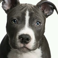 My favorite picture of the American Pitbull Terrier