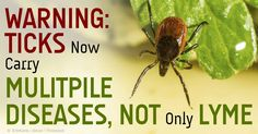 ticks lyme disease babesiosis Good to know for people who travel on vacation with their pets! http://healthypets.mercola.com/sites/healthypets/archive/2014/08/13/ticks-lyme-disease-babesiosis.aspx