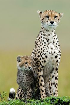 Cheetah mother and cub by Peter McKellar Big Animals, Majestic Animals, Cute Baby Animals, Animals And Pets, Funny Animals, Beautiful Cats, Animals Beautiful, Beautiful Pictures, African Animals
