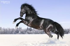 #Black #Kladruber #Horse #Winter #Snow