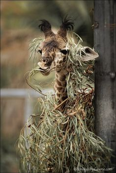 Here, It's Ghillie suit not yet fully assembled, we get rare glimpse of the beautiful but deadly, Sniper Giraffe.